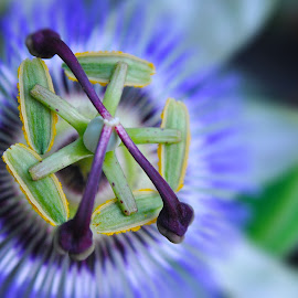 Passion flower by Ruth Holt - Novices Only Flowers & Plants ( purple, blue, passion, flower, intricate )
