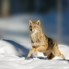 Running Coyote by Lloyd Alexander - Animals Other Mammals ( coyote, wild, lloyd alexander, winter, nature, moving, wildlife, natural, running )