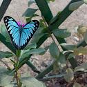 Common wanderer ( एक घुमक्कड़ तितली )