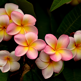 Pink Frangipani 89 by Mark Zouroudis - Flowers Flowers in the Wild