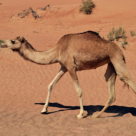 desert drive by Aic'ha AR - Animals Other ( barren, camel, desert, arabian desert, animal,  )