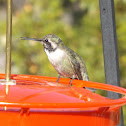 Anna's Hummingbird - Juvenile Male
