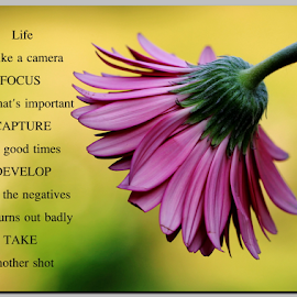 Life is like a camera by Dipali S - Typography Quotes & Sentences ( life, nature, flora, quote, camera, pink, typography, gerbera, shot, photo, flower )