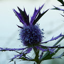 Leavenworth's Eryngo