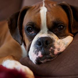 cozy by Liz Childs - Animals - Dogs Portraits ( pillow, couch, boxer, dog, portrait,  )