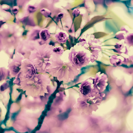 Cherry blossoms by Kim C - Nature Up Close Gardens & Produce ( canon, macro, 50mm, flowers, spring, cherry blossoms )