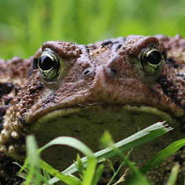 Ribbit! by Jason Confer - Animals Amphibians ( frog,  )