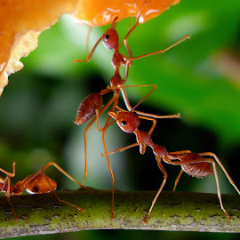 Ant's World by Iwan Ramawan - Animals Insects & Spiders ( ant insect )