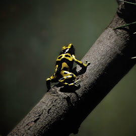Dart Frog by Darya Morreale - Animals Amphibians ( tree branch, poison frog, dart frod, amphibian, poison,  )