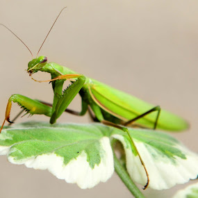 Mantis by Christine Weaver-Cimala - Animals Insects & Spiders (  )