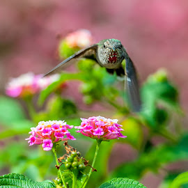 Incoming!! by Kevin Mummau - Novices Only Wildlife ( bird, flight, hummingbird, wildlife, garden )