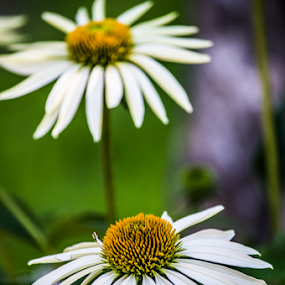 cone flowers by Tim Hauser - Flowers Flower Gardens ( nature, cone flowers, art, plants, flowers )