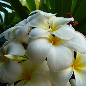 Frangipani by Kirsten Gamby - Flowers Tree Blossoms ( white frangipani, tree flowers, frangipani,  )