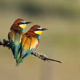 Merops apiaster by Jose Macedo - Animals Birds