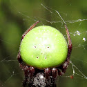 Green pea spider