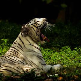 White tiger by Narendra Prashanth Ramsundar - Animals Lions, Tigers & Big Cats ( big cat, cat, white tiger, tiger, white )