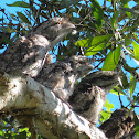 Tawny Frogmouths (adults and chicks)
