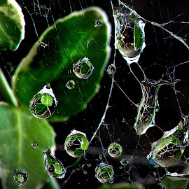 Water in the web by Brent Lindsay - Nature Up Close Webs ( reflection, leave, web, wate )