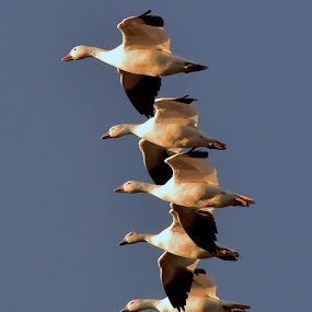 Snow Geese in a Line by Steven Aicinena - Animals Birds ( flying, snow geese,  )