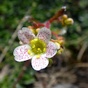 White Mountain saxifrage