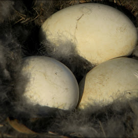 More goose eggs by Liz Hahn - Nature Up Close Hives & Nests