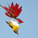 Oriental White-eye and Indian Coral Tree