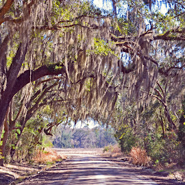 Coastal Georgia Country Road by Emily Harrison - Landscapes Forests ( dirt road, georgia, tree tunnel, coastal, country,  )