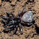 Ravine trap-door spider (juvenile male)