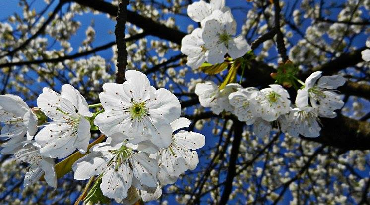 The Branch of Cherry Blossom by Nat Bolfan-Stosic - Flowers Tree Blossoms ( cherry, white, branch, flowers, blossom,  )