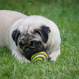 Pugsi by Tracey Dolan - Animals - Dogs Playing