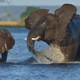 River mock charge by Tobie Oosthuizen - Animals Other Mammals ( botswana, chobe national park )