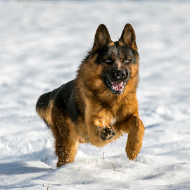 nils by Gianluca Pisano - Animals - Dogs Running ( breed, isolated, faithful, beautiful, white, strong, snow, best friend, dog, german shepherd, big, hair, friend )