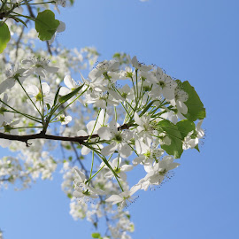 A Tree Flowering In The Spring by Cindy Cooper Houser - Nature Up Close Trees & Bushes ( nature, flowering, tree, bushes, white, nature up close, trees, spring, flower, Earth, Light, Landscapes, Views )