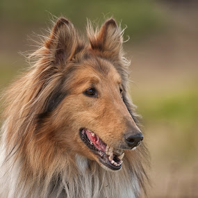 collie by Alfredo Garciaferro Macchia - Animals - Dogs Portraits