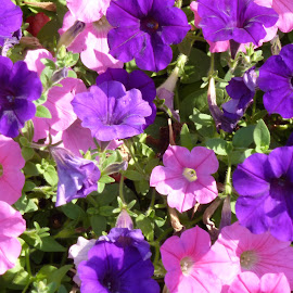 Petunias by Linda Ensor - Novices Only Flowers & Plants ( purple, plants, pink, flowers, petunias )