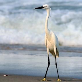 Little Egret.... by Nithya Purushothaman - Animals Birds