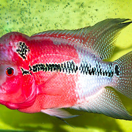 flowerhorn by Celito Inguillo - Animals Fish ( animals, fish, aquarium, pets, wildlife )