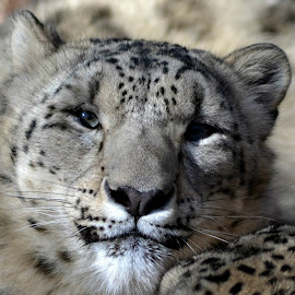 Snow Leopard by Mohammed Khan - Animals Lions, Tigers & Big Cats