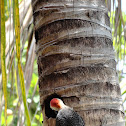 Carpintero Yucateco (Yucatan Woodpecker)
