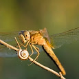 Dragonflies and Damselflies of Greece