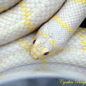 California King Snake (Albino)