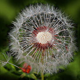 Once, You've Got To Go by Marija Jilek - Nature Up Close Other plants ( nature, dandelion, plants, seeds, stem, head )