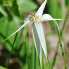 White-topped Sedge, Starrush Whitetop