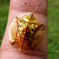 Golden Tortoise Beetle
