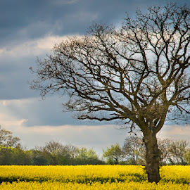 Rapeseed Field by Pete Lebow - Landscapes Prairies, Meadows & Fields ( rapeseed, sky, tree, blue, yellow, birds )