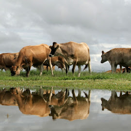 Cows after the rain by Janus Katsman - Animals Other Mammals ( jersey, mirrored, dairy, reflexion, rain, cows,  )