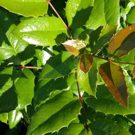 ilex by Kasia Haldas - Nature Up Close Leaves & Grasses ( up close, decoration, bushes, green leaves, green leaf, greenery, bush, sun light, leaves, garden,  )