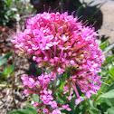Pink Spur Valerian