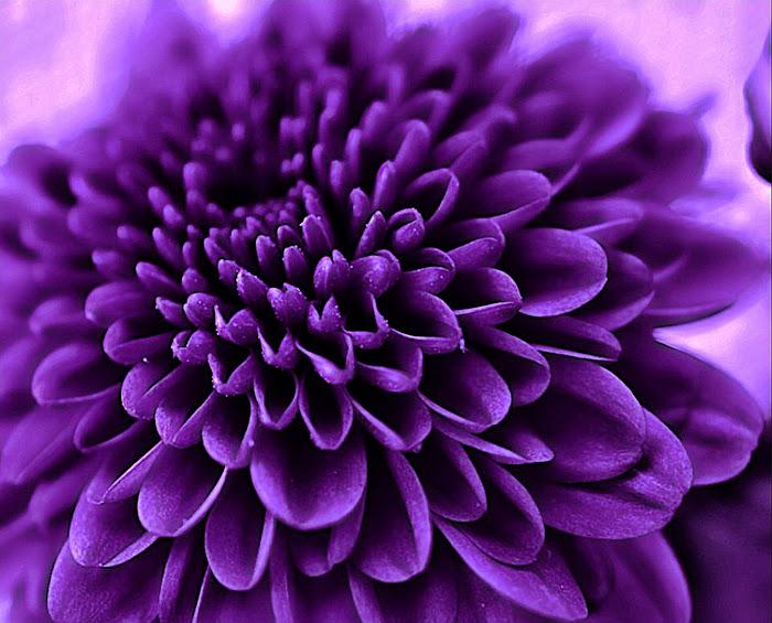 Royal Purple Chrysanthemum In Full Bloom Single Flower Flowers Pixoto