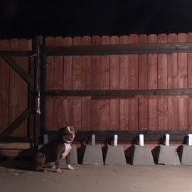 #lucythepit straight tore up the fence and got out today so #khaskett Inka #tessler #waicool and I helped reinforce the fence and then made Lucy pose for this. And by helped I mean Kyle did 99% of the work. #diy #homerepairs #pitbull #animallovers #dogs #homedepot by Angelo Perrino - Animals - Dogs Portraits